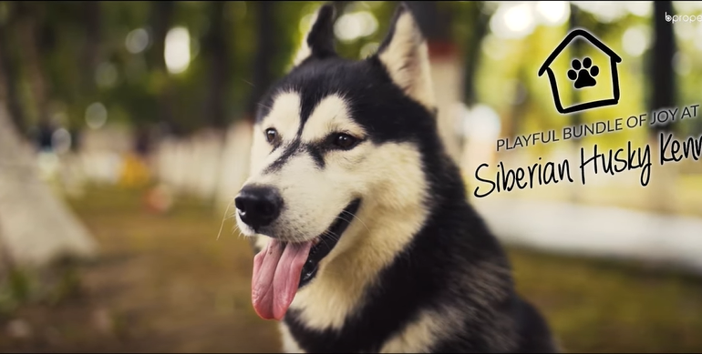 Let's visit the Siberian Husky Kennel where sweet little friends are waiting