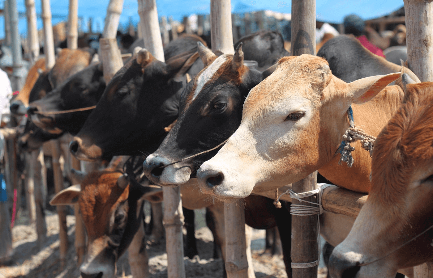 cattle roped with bamboo